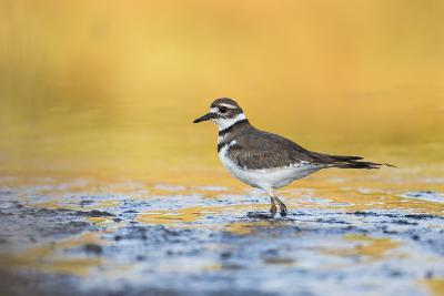 Wyoming, Sublette Co, Killdeer in Mudflat with Gold Reflected Water-Elizabeth Boehm-Photographic Print