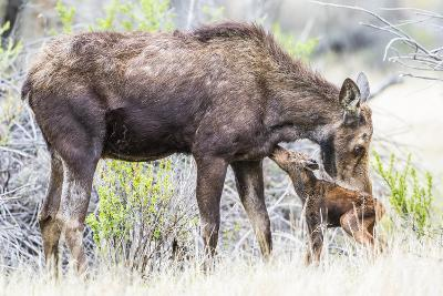 Wyoming, Sublette County, a Cow Moose Licks Her Newborn Calf-Elizabeth Boehm-Photographic Print