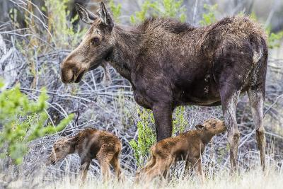 Wyoming, Sublette County, a Cow Moose Stands by Her Twin Newborn Calves-Elizabeth Boehm-Photographic Print