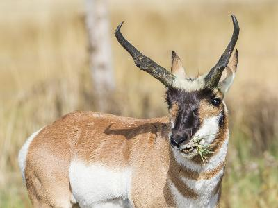 Wyoming, Sublette County, a Pronghorn Male Eating Forbes-Elizabeth Boehm-Photographic Print