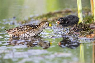 Wyoming, Sublette County, a Sora Feeds it's Chick in a Cattail Marsh-Elizabeth Boehm-Photographic Print