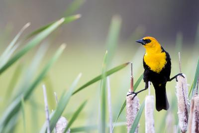 Wyoming, Sublette County, a Yellow-Headed Blackbird Male Straddles Several Cattails-Elizabeth Boehm-Photographic Print