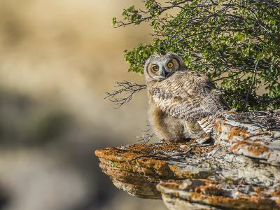 Wyoming, Sublette County, a Young Great Horned Owl Sits on a Lichen Covered Ledge-Elizabeth Boehm-Photographic Print