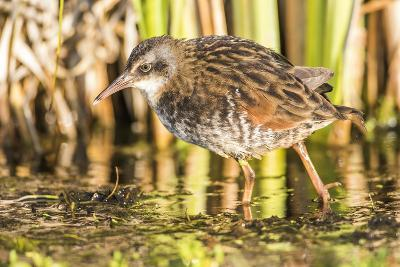 Wyoming, Sublette County, a Young Virginia Rail Forages in a Cattail Marsh-Elizabeth Boehm-Photographic Print