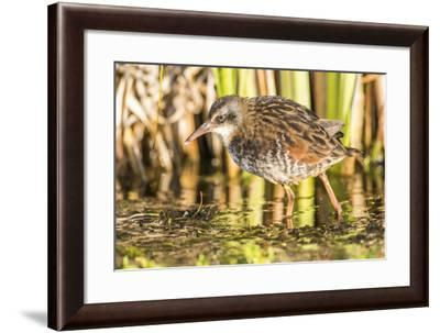 Wyoming, Sublette County, a Young Virginia Rail Forages in a Cattail Marsh-Elizabeth Boehm-Framed Photographic Print