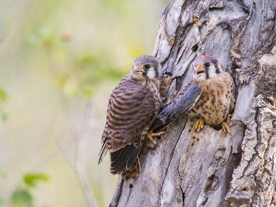 Wyoming, Sublette County, American Kestrels Fledging Nest-Elizabeth Boehm-Photographic Print