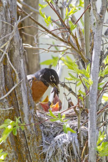 Wyoming, Sublette County, American Robin Feeding Nestlings Worms-Elizabeth Boehm-Photographic Print