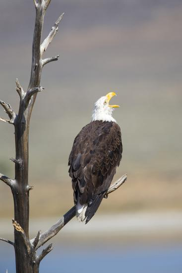 Wyoming, Sublette County, Bald Eagle Calling from Snag-Elizabeth Boehm-Photographic Print