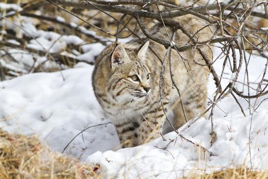 Wyoming, Sublette County, Bobcat in Winter-Elizabeth Boehm-Photographic Print