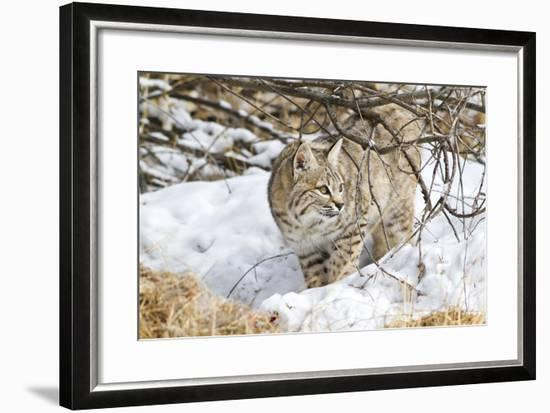 Wyoming, Sublette County, Bobcat in Winter-Elizabeth Boehm-Framed Photographic Print