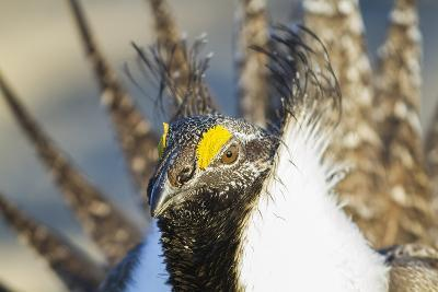 Wyoming, Sublette County, Greater Sage Grouse Head Shot-Elizabeth Boehm-Photographic Print