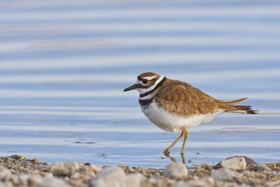 Wyoming, Sublette County, Killdeer Wading in Pond-Elizabeth Boehm-Photographic Print