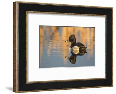 Wyoming, Sublette County. Male ring-necked duck is reflected in the morning light on a quiet pond.-Elizabeth Boehm-Framed Photographic Print