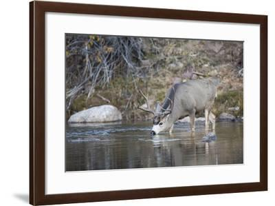 Wyoming, Sublette County, Mule Deer Buck Drinking Water from River-Elizabeth Boehm-Framed Photographic Print