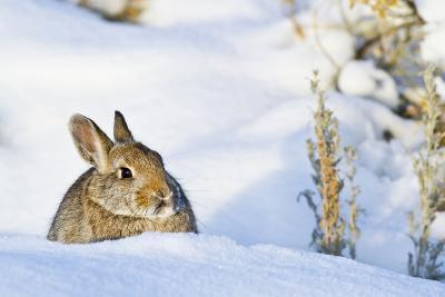 Wyoming, Sublette County, Nuttalls Cottontail Rabbit Sitting in Snow-Elizabeth Boehm-Photographic Print