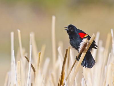 Wyoming, Sublette County, Red Winged Blackbird Singing in Marsh-Elizabeth Boehm-Photographic Print