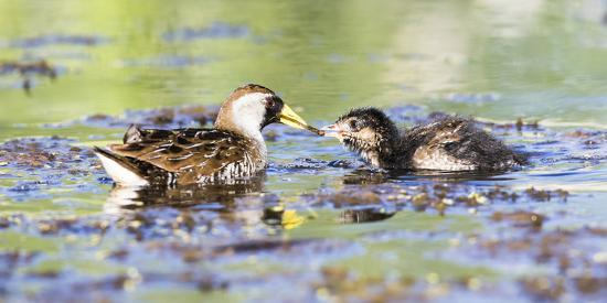 Wyoming, Sublette County, Sora Feeds Chick in a Pond-Elizabeth Boehm-Photographic Print