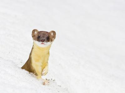 Wyoming, Sublette County, Summer Coat Long Tailed Weasel in Snowdrift-Elizabeth Boehm-Photographic Print
