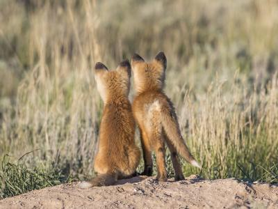 https://imgc.artprintimages.com/img/print/wyoming-sublette-county-two-young-fox-kits-watch-from-their-den-for-a-parent_u-l-q1gbc0m0.jpg?p=0