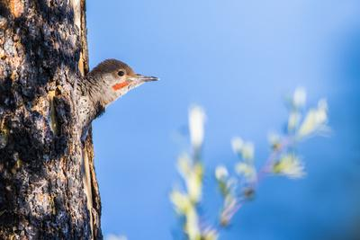 https://imgc.artprintimages.com/img/print/wyoming-sublette-county-young-male-northern-flicker-peering-from-it-s-nest-cavity_u-l-q1gb9d60.jpg?p=0