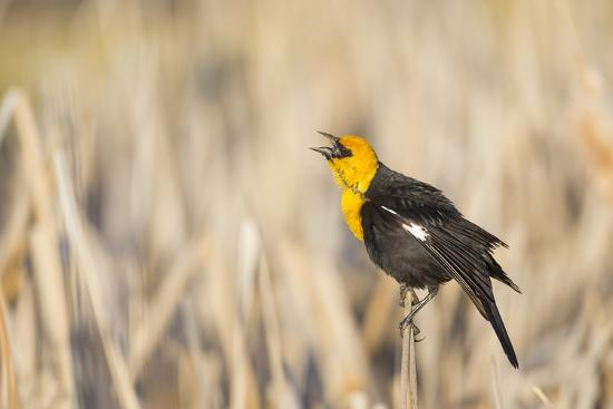 Wyoming, Sublette, Yellow-Headed Blackbird Calling in Cattail Marsh-Elizabeth Boehm-Photographic Print