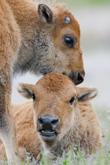 Wyoming, Yellowstone National Park, a Bison Calf Nuzzles Another to Play-Elizabeth Boehm-Photographic Print