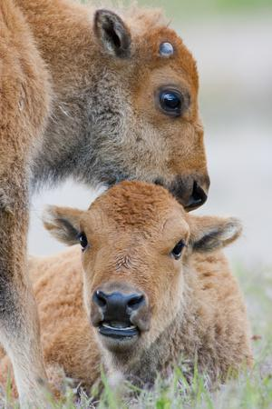 https://imgc.artprintimages.com/img/print/wyoming-yellowstone-national-park-a-bison-calf-nuzzles-another-to-play_u-l-pu4grh0.jpg?p=0