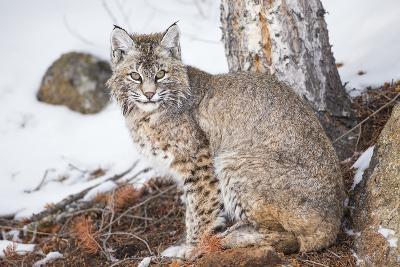 Wyoming, Yellowstone National Park, Bobcat Sitting under Tree-Elizabeth Boehm-Photographic Print
