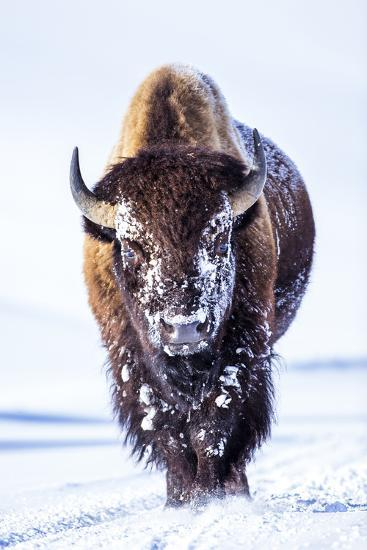 Wyoming, Yellowstone National Park, Bull Bison Walking in Hayden Valley-Elizabeth Boehm-Photographic Print