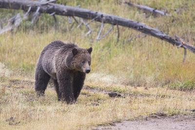 Wyoming, Yellowstone National Park, Grizzly Bear-Elizabeth Boehm-Photographic Print