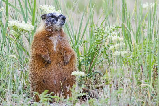 Wyoming, Yellowstone National Park, Yellow Bellied Marmot Sitting on Haunches-Elizabeth Boehm-Photographic Print