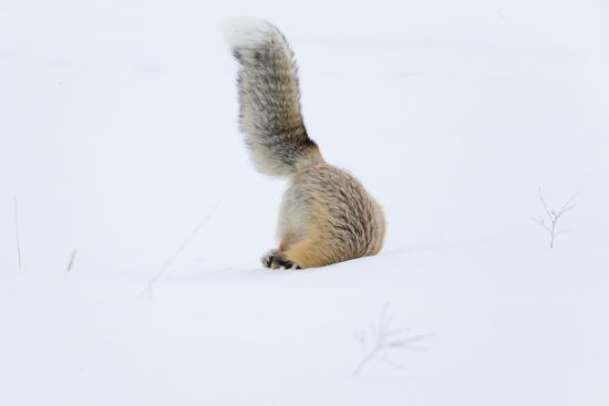 Wyoming, Yellowstone NP. A red fox is headfirst in the snow to get a rodent.-Ellen Goff-Photographic Print