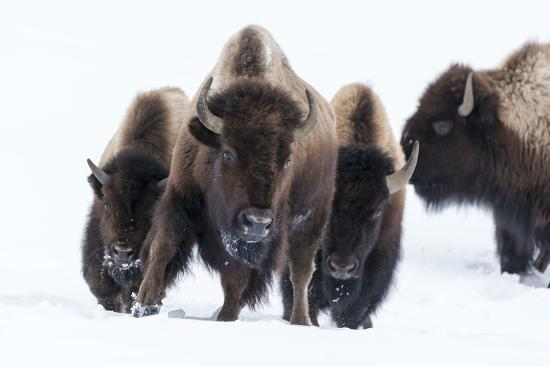 Wyoming, Yellowstone NP. American bison (Bos bison) beginning to run through the deep snow.-Ellen Goff-Photographic Print
