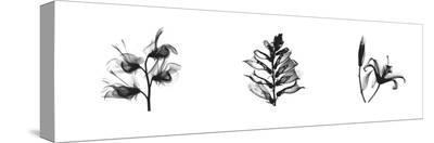 X-Ray Foxglove Triptych-Bert Myers-Stretched Canvas Print