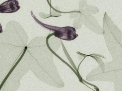 X-Ray Ivy Leaves and Flowers-George Taylor-Photographic Print