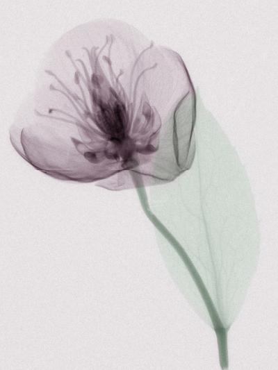 X-Ray of a Leaf and Flower-George Taylor-Photographic Print