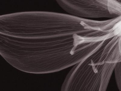 X-Ray of a Tiger Lily Flower-George Taylor-Photographic Print