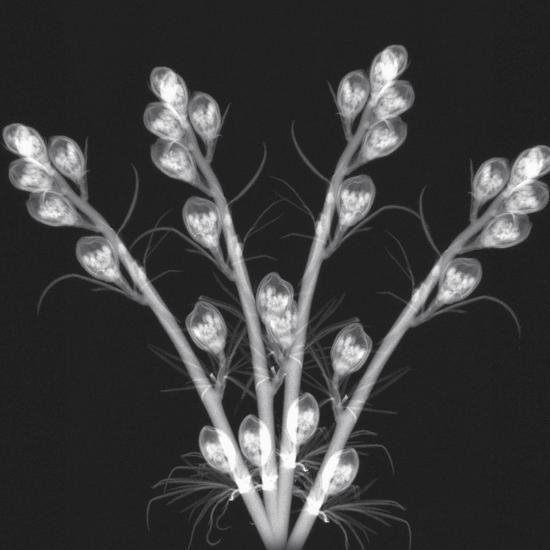 X-Ray of Flower Buds-George Taylor-Photographic Print