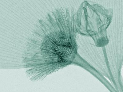 X-Ray of Ginkgo Leaf and Chives Flowers-George Taylor-Photographic Print