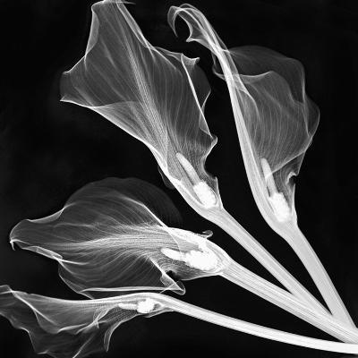 X-Ray of Lily Flowers-George Taylor-Photographic Print