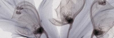 X-Ray of Tulip Petals and Monkshood Flowers-George Taylor-Photographic Print