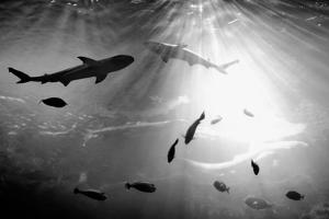 Squales Fish by xamah image