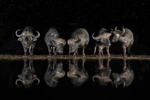Buffaloes in the Waterhole at Night by Xavier Ortega