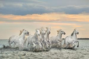 Camargue Horses - France by Xavier Ortega