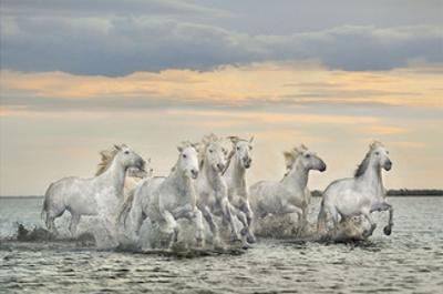 Camargue Horses - France