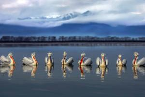Dalmatian pelicans meeting by Xavier Ortega