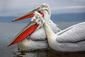 Dalmatian Pelicans by Xavier Ortega