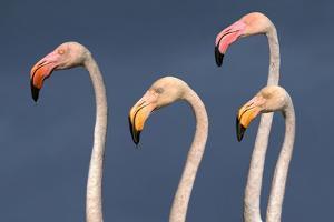 Flamingos Close-Up by Xavier Ortega