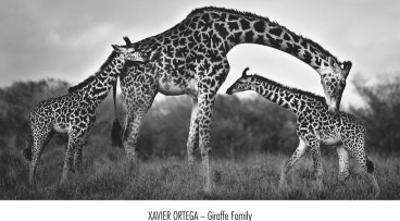 Giraffe Family by Xavier Ortega