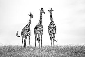 Giraffes in the Mara plains by Xavier Ortega